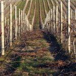Prunings in a vine row